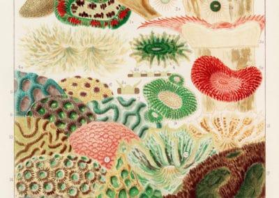 La grande barrière de corail - William Saville-Kent 1893 (11)