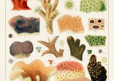 La grande barrière de corail - William Saville-Kent 1893 (3)