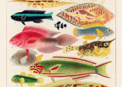 La grande barrière de corail - William Saville-Kent 1893 (5)