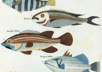 Poissons, écrevisses et crabes - Louis Renard 1719 (1)