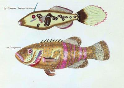 Poissons, écrevisses et crabes - Louis Renard 1719 (10)