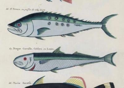 Poissons, écrevisses et crabes - Louis Renard 1719 (14)