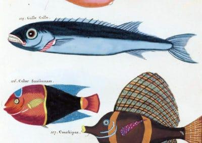 Poissons, écrevisses et crabes - Louis Renard 1719 (18)