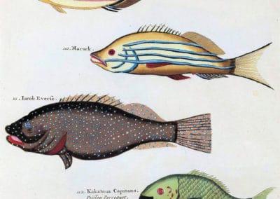 Poissons, écrevisses et crabes - Louis Renard 1719 (19)