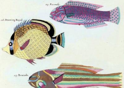 Poissons, écrevisses et crabes - Louis Renard 1719 (20)