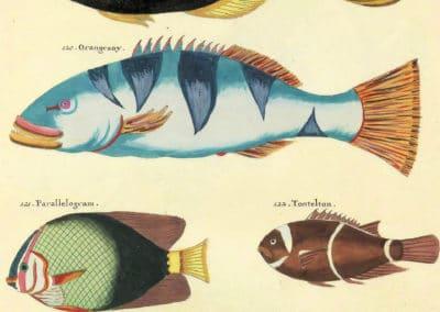 Poissons, écrevisses et crabes - Louis Renard 1719 (21)