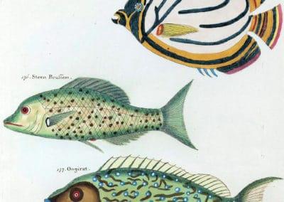 Poissons, écrevisses et crabes - Louis Renard 1719 (24)