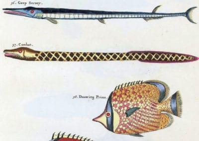 Poissons, écrevisses et crabes - Louis Renard 1719 (7)