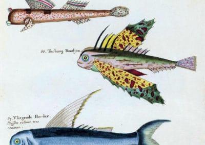 Poissons, écrevisses et crabes - Louis Renard 1719 (9)